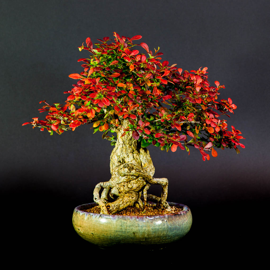 20160501_Bonsai-37-edit